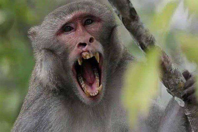 وفاة أول شخص في الصين بالفيروس القردي B